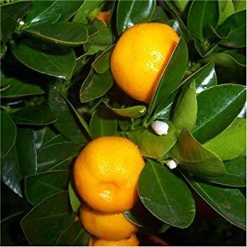 SANHOC Samen-Paket: Kreuz Nursery Orange 'Calamondin' Standard. Miniatur OrangeSEED