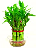 #7: TrustBasket 2 Layer Lucky Bamboo Natural Plant