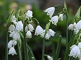 100 Blumenzwiebeln Märzbecher Blumenzwiebeln Leucojum Aestivum Gr.ca. 8-9