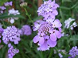 FLOWER CANDYTUFT IBERIS UMBELLATA DWARF FAIRY MIX 750 SEEDS