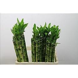 10-pc afortunado bamboo Bambú de la suerte 50cm largo ,recto