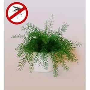 Plante de Neptune anti-moustiques (x2)