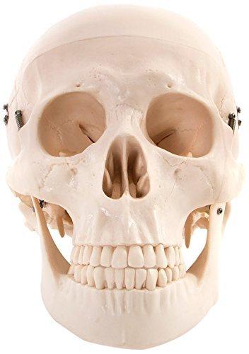 66fit Anatomisches Deluxe-Modell eines lebensgroßen menschlichen Schädels mit 8-teiligem Gehirn -