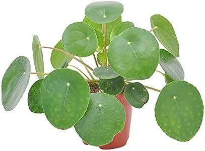 Pilea peperomioides Glückstaler Ufopflanze Chinesisch.Geldbaum,gesamte Höhe 15cm