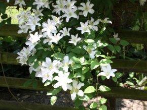 Clematis 'Huldine' - Mehrjährige Kletterpflanze von Baumschule - Du und dein Garten