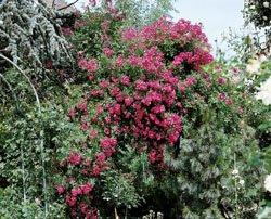 'Maria Lisa', Rambler-Rose im Rosen-Container