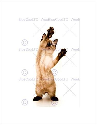 SIAMESE KITTEN CAT PLAYING BLACK FRAME FRAMED ART PRINT PICTURE MOUNT B12X8349