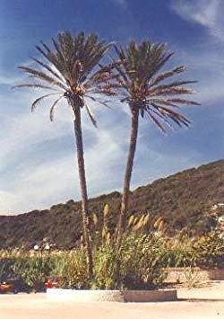 Vistaric True Date Palm 15 Seeds - Phoenix Dactylifera