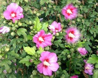 Hibiscus syriacus 'Woodbridge' – (Hibiskus – Garteneibisch 'Woodbridge')- Containerware 40-60 cm