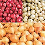 Sets to Plant Yourself Free UK Postage 1 kg of Seed Shallots
