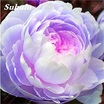 Nouveau! 10 Pcs Pivoine Graines Paeonia suffruticosa Andrews Mix Couleurs Indoor Bonsai fleur pour jardin des plantes Pivoine Graines de fleurs 7