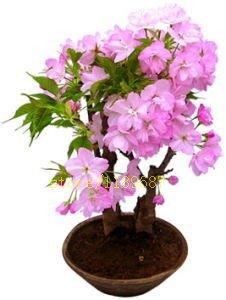 Pinkdose 10 pcs nouveau bonsaïs sur le bureau fleurs de cerisier japonais de fleurs sakura pour la décoration couleur rare pour les planteurs de pot de fleurs: 5
