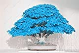 #8: Floral Treasure Blue Maple Bonsai Suitable Tree Seeds