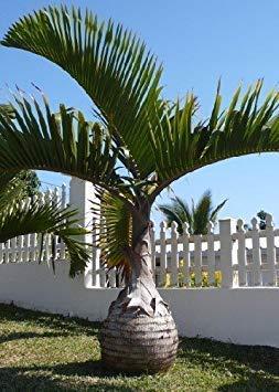 FERRY Keim Seeds: Tropica - Flasche Palm (Flaschenpalme) - 3 Seeds - Palms