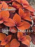 Virtue 50 stücke bonsai begonie samen hof balkon Coleus blumensamen reinigen luft bonsai beständig wärme fleischigen diy hausgarten pflanzen 8