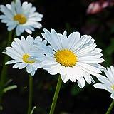 AGROBITS 50Pcs dalmata piretro semi di piretro cinerariifolium imballaggio originale