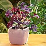Rot Glücklich Gras Samen Samen grün im Freien Garten Klee Pflanzen Indoor Hause Bonsai Hof 6 Sementes