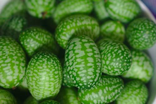 AIMADO Samen-50 Stück Mini-Wassermelone F1 Samen 10-15 cm Durchmesser keine Kerne BIO Saatgut Obst, für Balkon, Terrasse, Garten,Topf