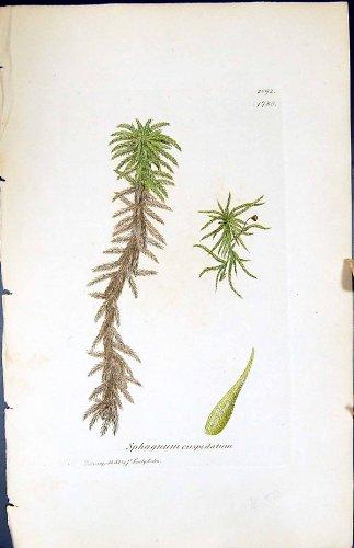 betriebsbotanik-torfmoos-cuspidatum-briten-farbdruck-1847-sowerby-smith