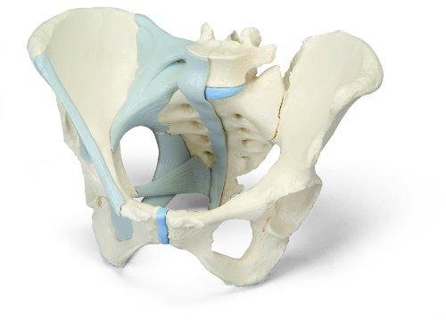 3B Scientific Menschliche Anatomie - Weibliches Becken mit Bändern, 3-teilig