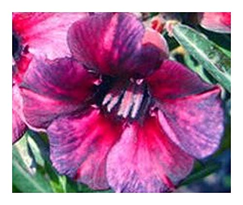 Adenium obesum Blueberry - Rose du désert - Faux baobab - 2 graines