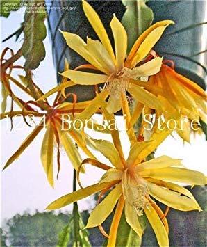 100 pezzi rari piante di cactus giapponese fiore epiphyllum succulente piante fiore sementes bonsai piante piante per interno fiori pot: 4