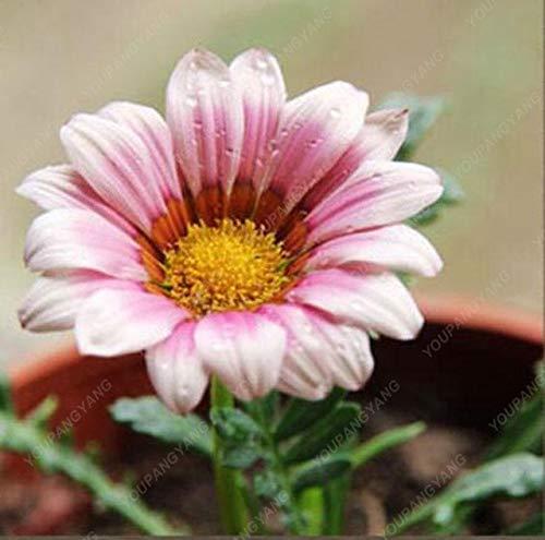 Shopmeeko 100 STK/Beutel Pflanzen aus Crisantemo Regenbogen Blumen Zierpflanzen Bonsai rund Garten Blume im Haus DIY