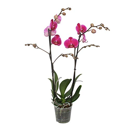 Bambus-Orchidee Am Spalier