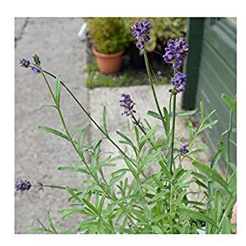 Shop Meeko gardenexpert Lavandula angustifolia 'Bleu Parfum' 15cm Pot Arbuste
