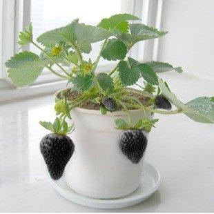 Schwarze Erdbeere 50 Samen süss und saftig ABSOLUTE RARITÄT von exoticsamen Samenraritäten aus aller Welt bei Du und dein Garten