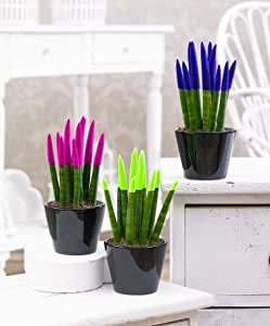 Collection de 3 Plantes-crayon 'Velvet Touch ®' en 3 couleurs