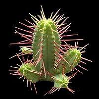Euphorbia pentagona seeds