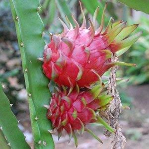 Hylocereus undatus (Dragon fruit) graines