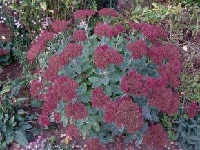 Fetthenne 'Herbstfreude' - Sedum telephium 'Herbstfreude' - Beetstaude von Native Plants von Native Plants auf Du und dein Garten