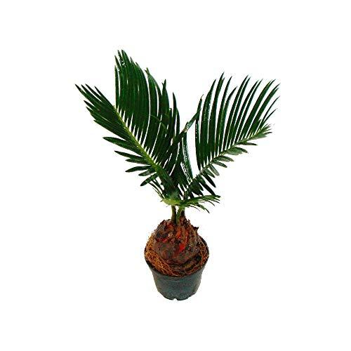 Cycas revoluta - Japanischer Palmfarn mit Knolle - Mini-Pflanze im 6cm Topf