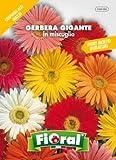 Sementi da fiore di qualità in bustina per uso amatoriale (GERBERA GIGANTE DOPPIA IN MISCUGLIO)