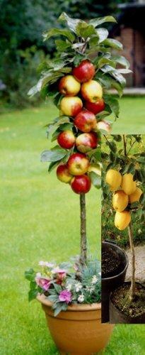 """Dominik Blumen und Pflanzen, Set aus zwei Apfelbäumen: je ein Säulenapfel """"Rotbäckchen"""" und """"Goldbäckchen"""" , 2 Säulenbäumchen, ca. 60 - 80 cm Stamm, 5 - 7 Liter Container, 1 Paar Handschuhe gratis"""