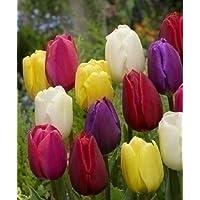 Set Bulbi Tulipano Misti Varietà Triumph Olandese Fiori Perenni Da Giardino Profumati Prato Vaso 60 Cm (10)