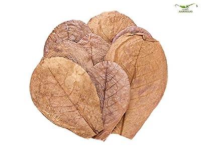 Garnelio Naturprodukte Seemandelbaum Blätter/Catappa Blätter - small - 12 STK