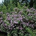 Ramblerrose 'Veilchenblau' im 4 L Container von Rosen-Union auf Du und dein Garten