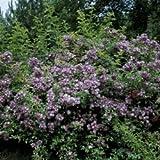'Veilchenblau', Rambler-Rose in A-Qualität Wurzelware