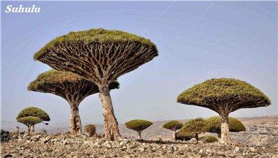 Dracaena arbre Graines, Arbre de sang (Dracaena draco), Graines rares Showy géant Fleur de cerisier Bonsai pot plantes de jardin 10 pièces 6
