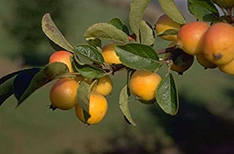 'Golden Hornet' (Malus) Crab Apple Tree in a 12L