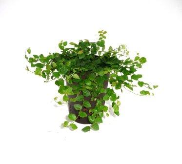 Kletter-Feige, Ficus pumila, Zimmerpflanze in Hydrokultur, 15/19er Kulturtopf, 20 - 30 cm