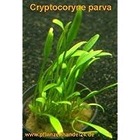 1 Pot cryptocoryne Parva, Plantas de agua Brand Name: Mühlan Aquatic Plants