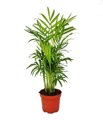 Chamaedorea elegans - Bergpalme - 3 Pflanzen
