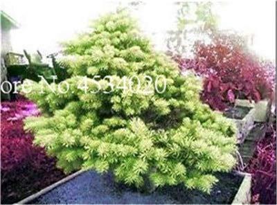 AGROBITS Saat: 50 Stück Rare Fichte Evergreen Tanne Pflanze Bonsai Topf Pine Weihnachtsbaum für Gartenpflanzen: 11
