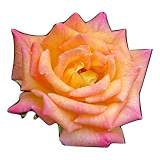 ROSE GEORGE'S PRIDE-Ideal Plant & Flower Gift For Fathers Day & All Occasions Personalised Gift For Dad,Grandad,Him,Boy