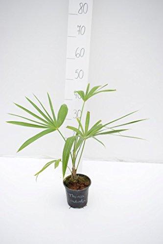 Zimmerpflanze Florida-Schilfpalme - Thrinax Radiata - Gesamthöhe 40-50cm Topf Ø 14cm