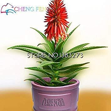 ASTONISH Sgomento SEMI: : 100pcs Rare Aloe semi di piante Bonsai s Casa & giardino